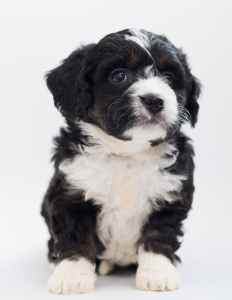 white and black maltese puppy